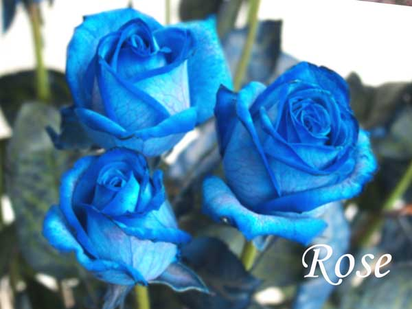 blue wedding flowers Rose