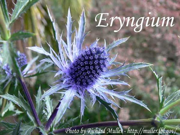 blue wedding flowers Eryngium