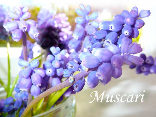 blue wedding flowers Muscari
