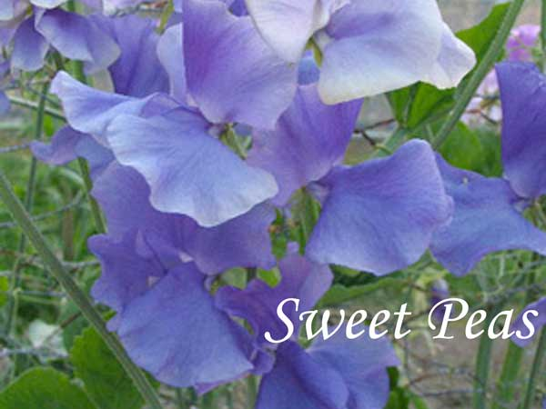 blue wedding flowers Sweet Pea