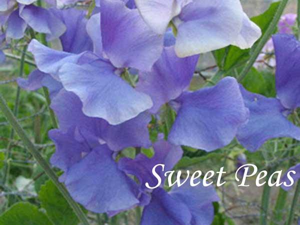 blue wedding flowers Sweet Pea