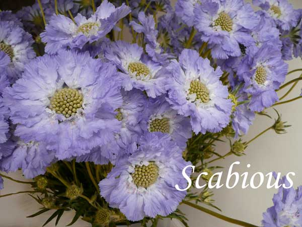 blue wedding flowers Scabious