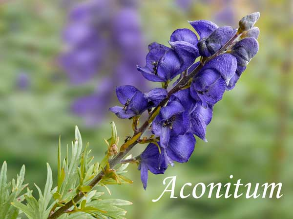 blue wedding flowers Aconitum