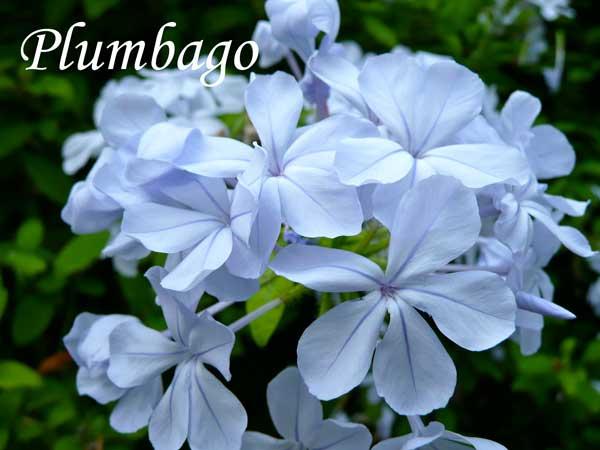 blue wedding flowers Plumbago