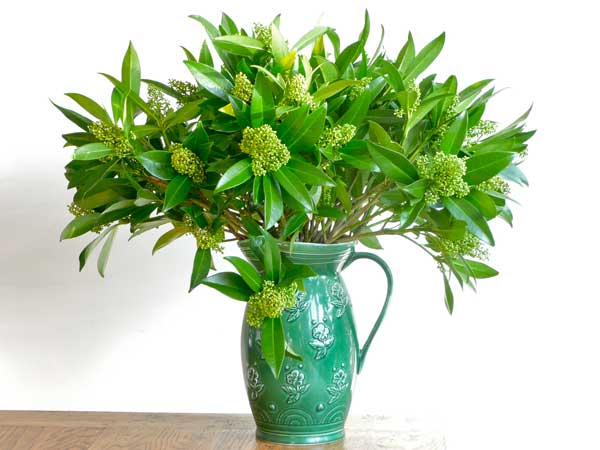 Home Accents Flowers Green Flowers Skimmia