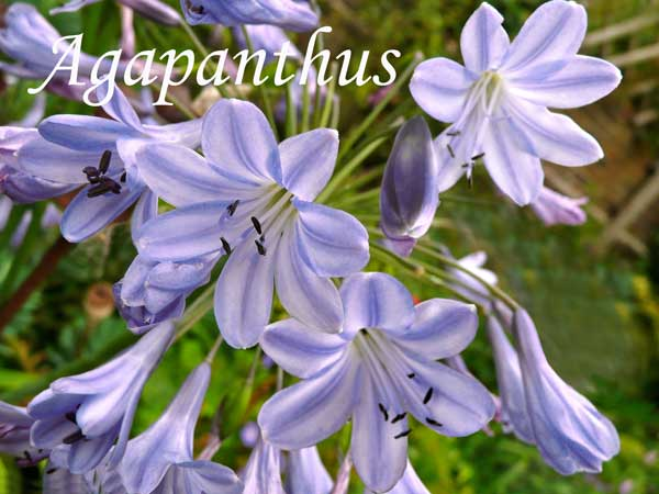 blue wedding flowers Agapanthus