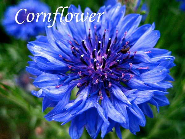 blue wedding flowers Cornflower