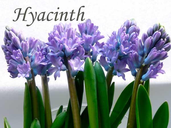 blue wedding flowers Hyacinth