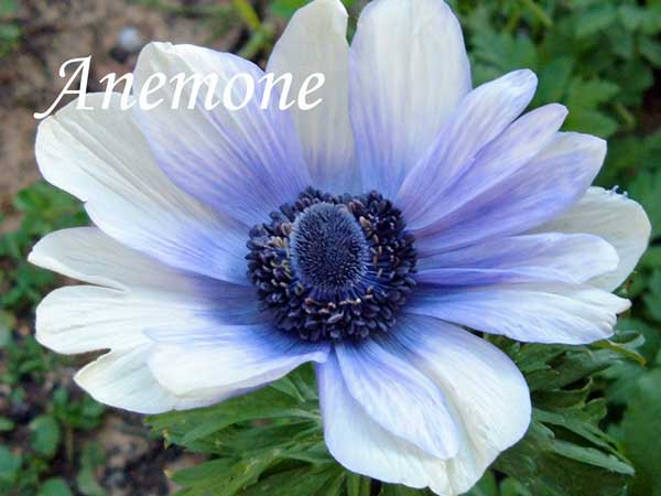 blue wedding flowers Anemone