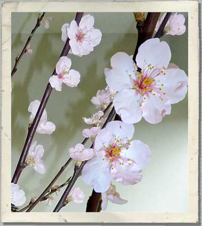 prunus blossom, prunus wedding flowers