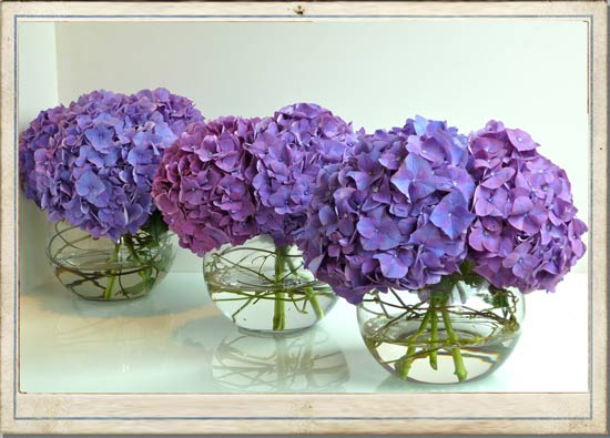 purple hydrangeas for impact